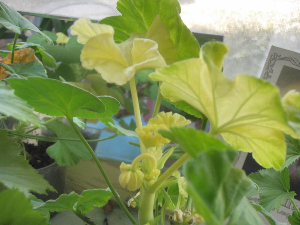 Почему сохнут и желтеют листья у герани?