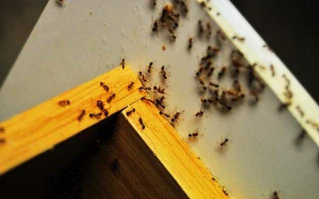 Как избавиться от муравьев в квартире в домашних условиях самостоятельно?