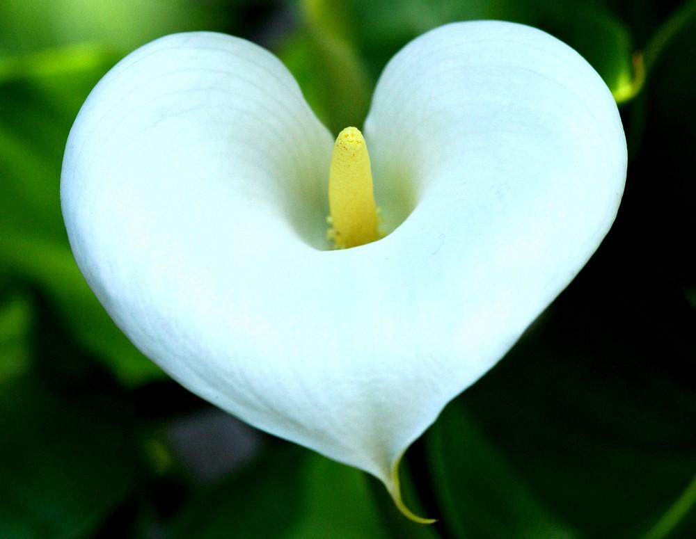 Домашний цветок калла. как правильно ухаживать, чтобы долго цвел.