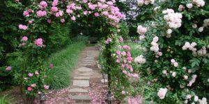 Плетистые розы, посадка и уход. 22 фото