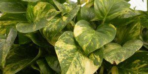 Самые красивые вьющиеся растения и лианы для дома. названия и фото